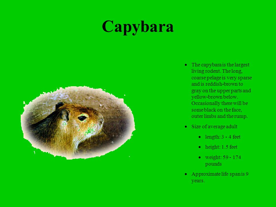 Capybara The capybara is the largest living rodent.