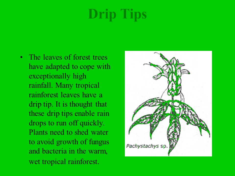 Drip Tips The leaves of forest trees have adapted to cope with exceptionally high rainfall.