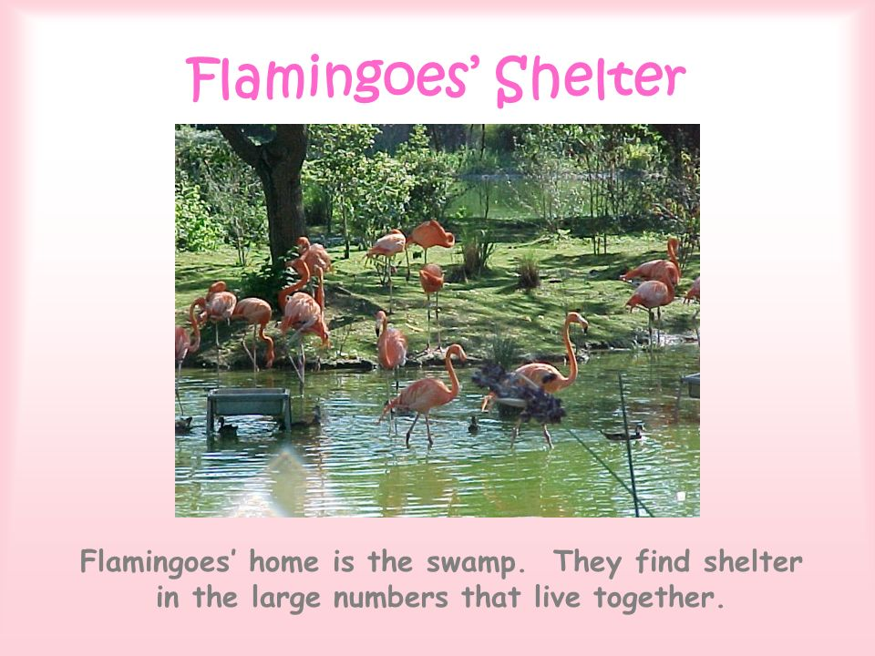 Flamingoes Shelter Flamingoes home is the swamp. They find shelter in the large numbers that live together.