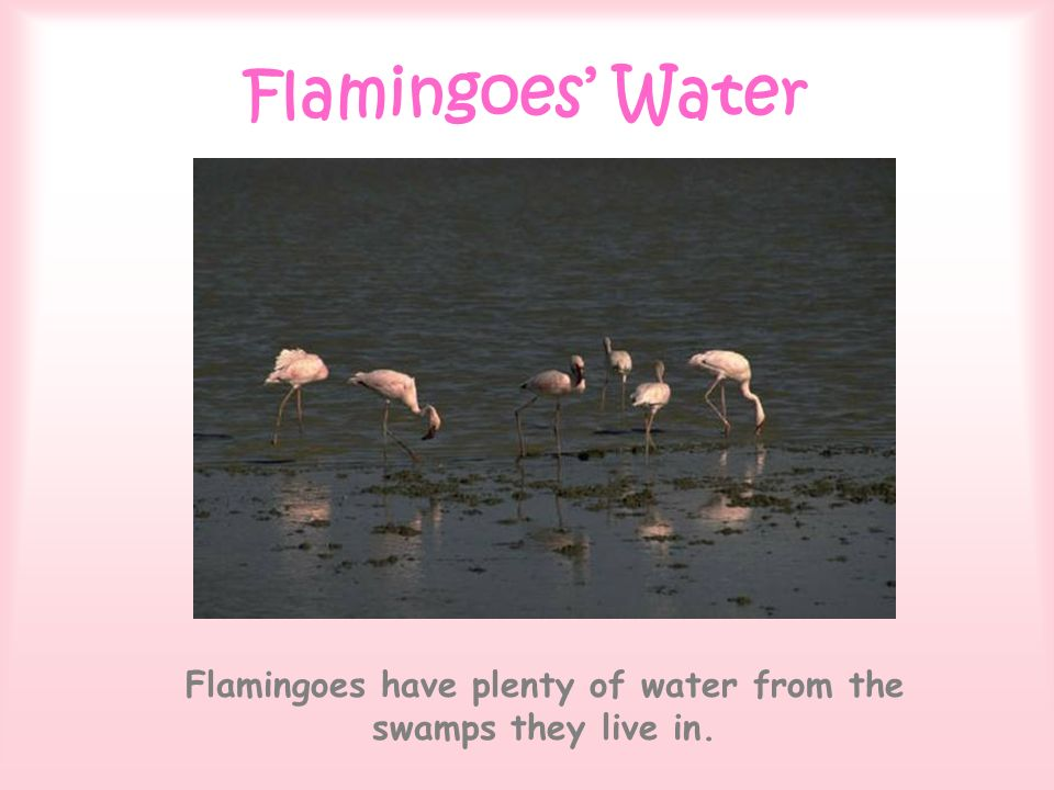 Flamingoes Water Flamingoes have plenty of water from the swamps they live in.