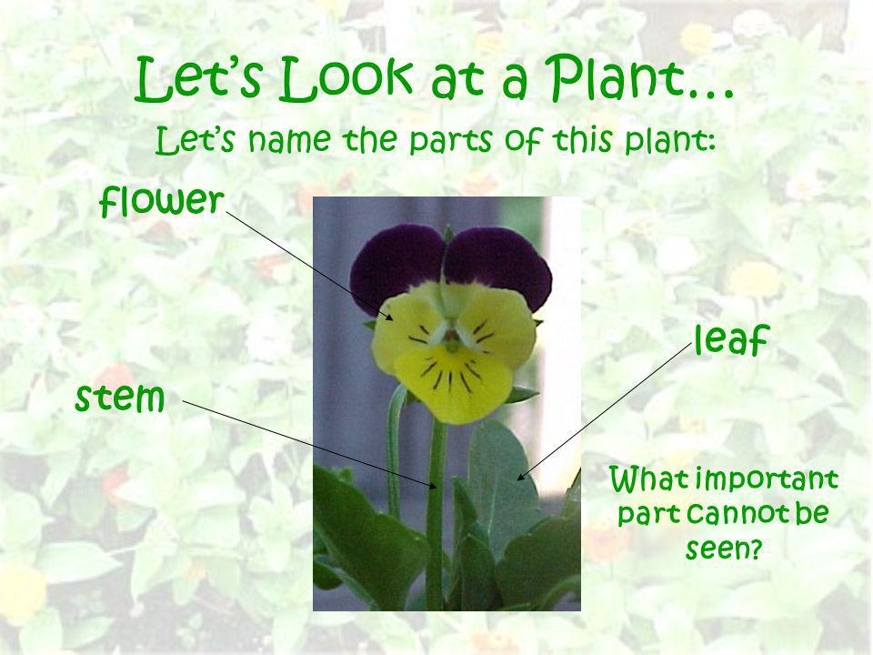 Lets Look at a Plant… Lets name the parts of this plant: flower leaf stem What important part cannot be seen?