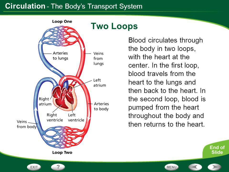 Circulation Sequencing As you read, make a cycle diagram like the one below that shows the path that blood follows as it circulates throughout the body.