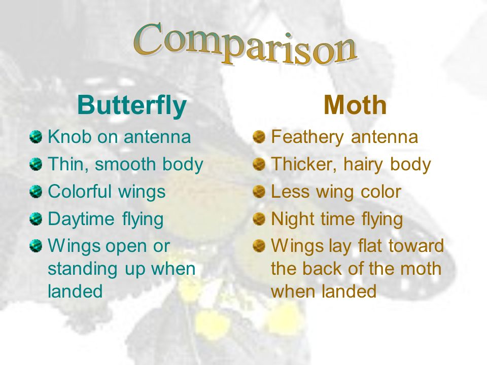Look closely at: antenna body The answer is: A moth