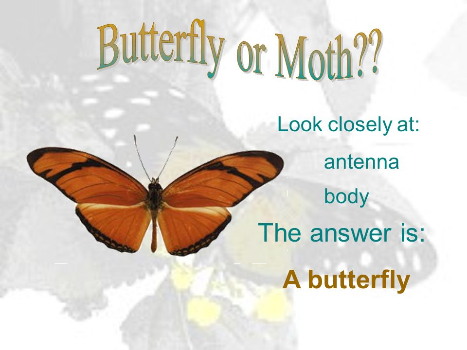 Look closely at: antenna body The answer is: A butterfly