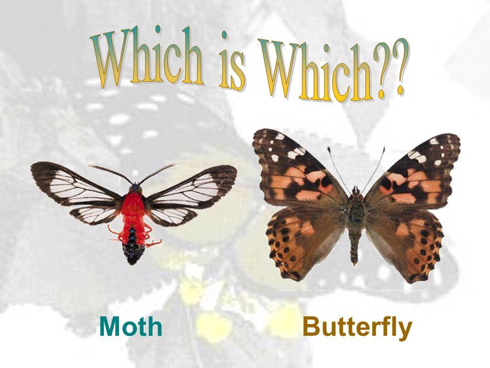 ButterflyMoth