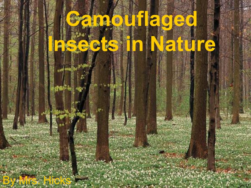 Camouflaged Insects in Nature By Mrs. Hicks