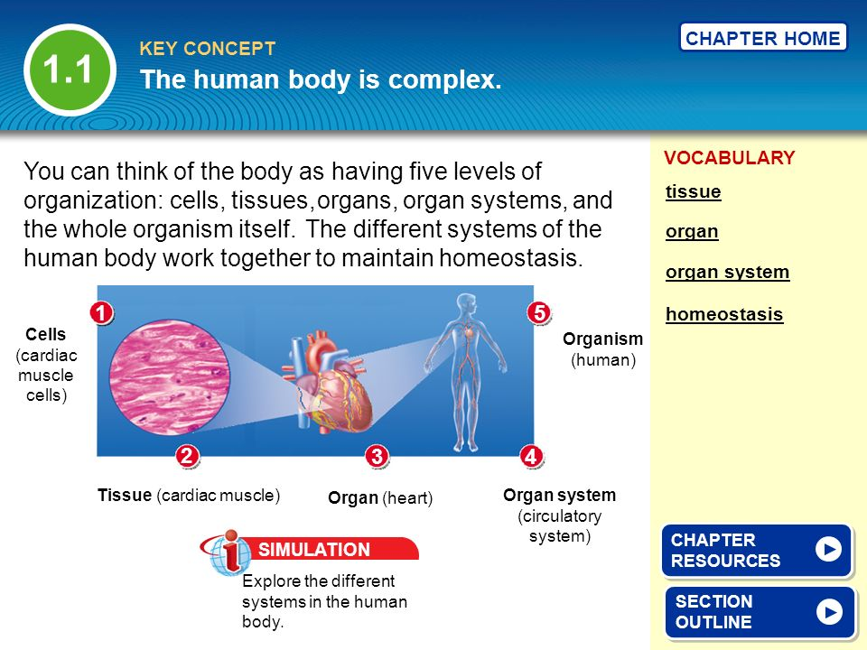 VOCABULARY KEY CONCEPT CHAPTER HOME organ organ system tissue The human body is complex. SECTION OUTLINE SECTION OUTLINE homeostasis You can think of