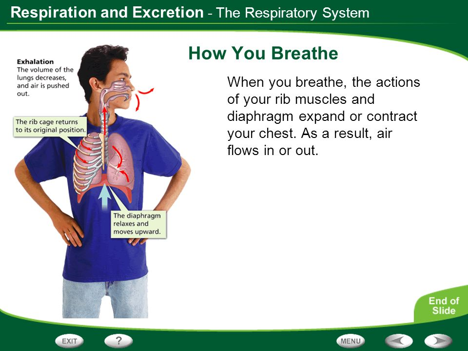 Respiration and Excretion - The Respiratory System How You Breathe When you breathe, the actions of your rib muscles and diaphragm expand or contract