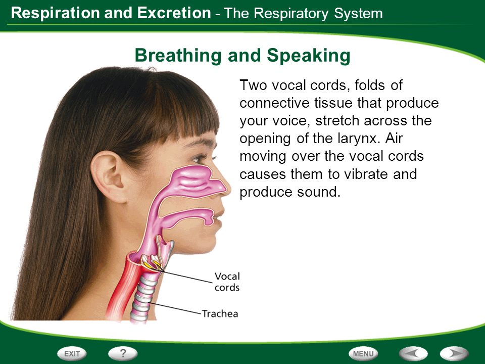 Respiration and Excretion - The Respiratory System Breathing and Speaking Two vocal cords, folds of connective tissue that produce your voice, stretch