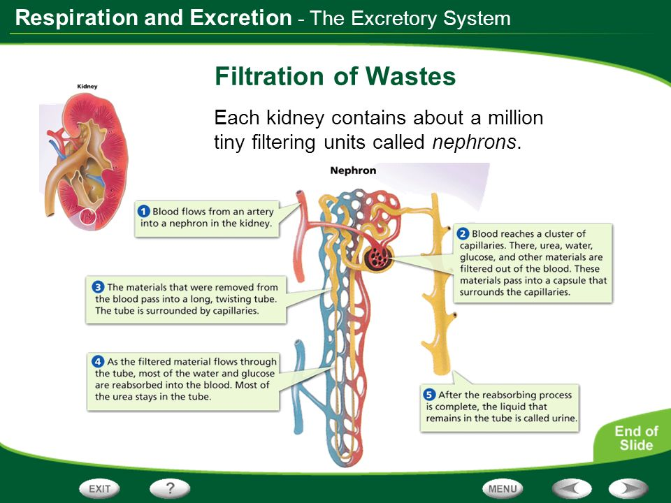 Respiration and Excretion - The Excretory System Filtration of Wastes Each kidney contains about a million tiny filtering units called nephrons.