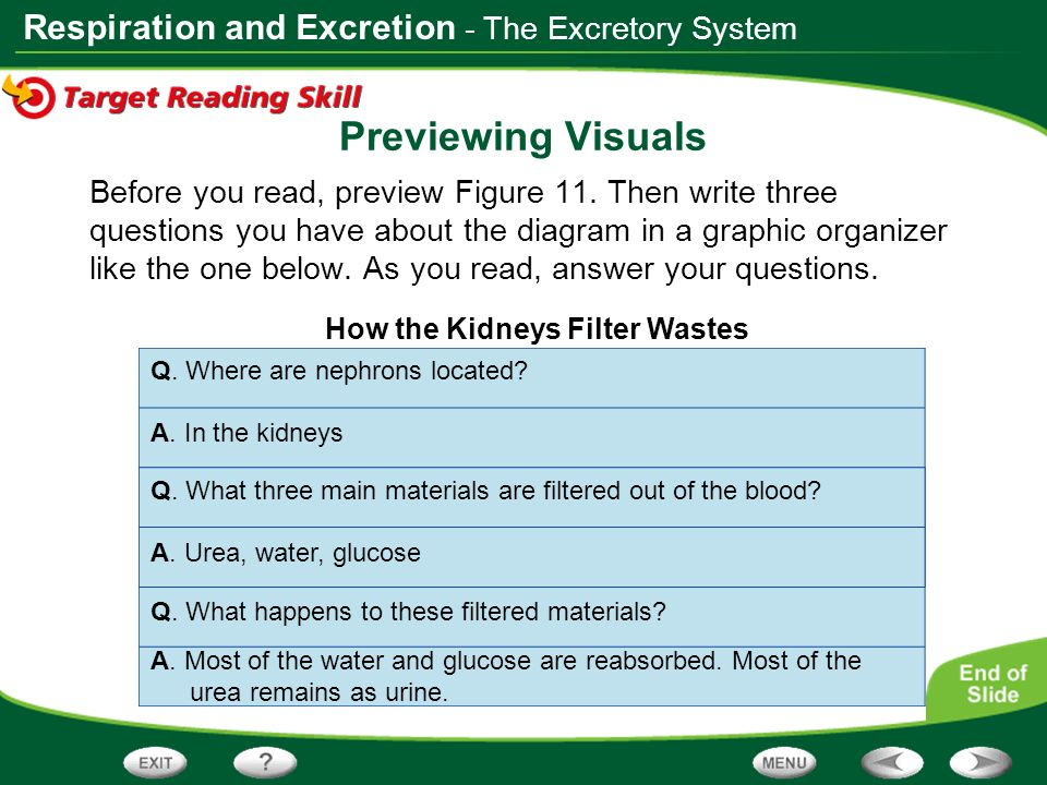 Respiration and Excretion Previewing Visuals Before you read, preview Figure 11. Then write three questions you have about the diagram in a graphic or