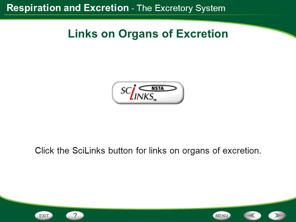 Respiration and Excretion Links on Organs of Excretion Click the SciLinks button for links on organs of excretion. - The Excretory System