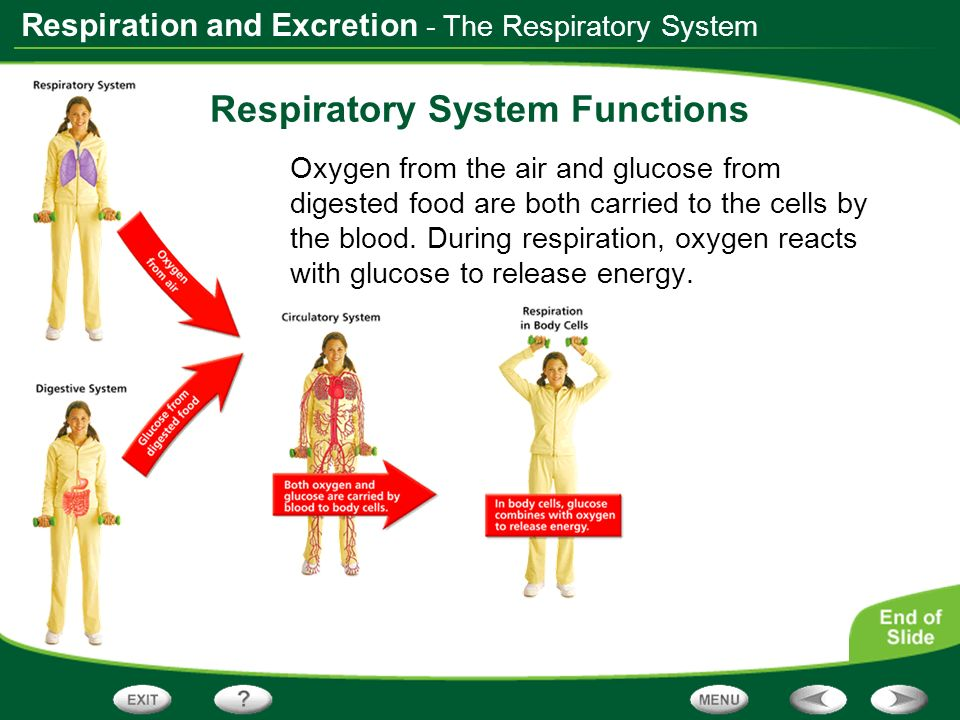 Respiration and Excretion - The Respiratory System The Path of Air As air travels from the outside environment to the lungs, it passes through the following structures: nose, pharynx, trachea, and bronchi.