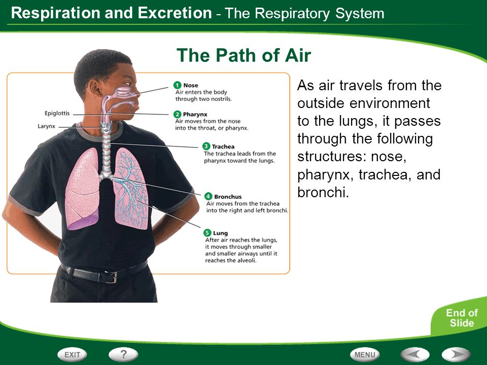 Respiration and Excretion - The Respiratory System The Path of Air As air travels from the outside environment to the lungs, it passes through the fol