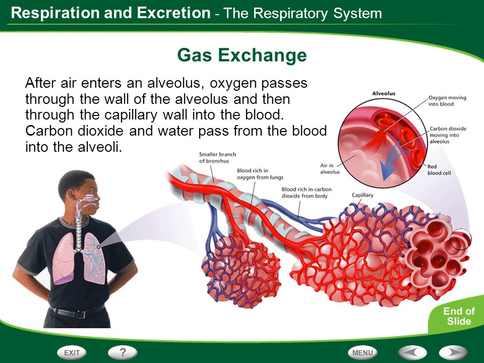 Respiration and Excretion Links on Respiratory Disorders Click the SciLinks button for links on respiratory disorders.