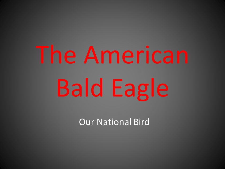 The American Bald Eagle Our National Bird