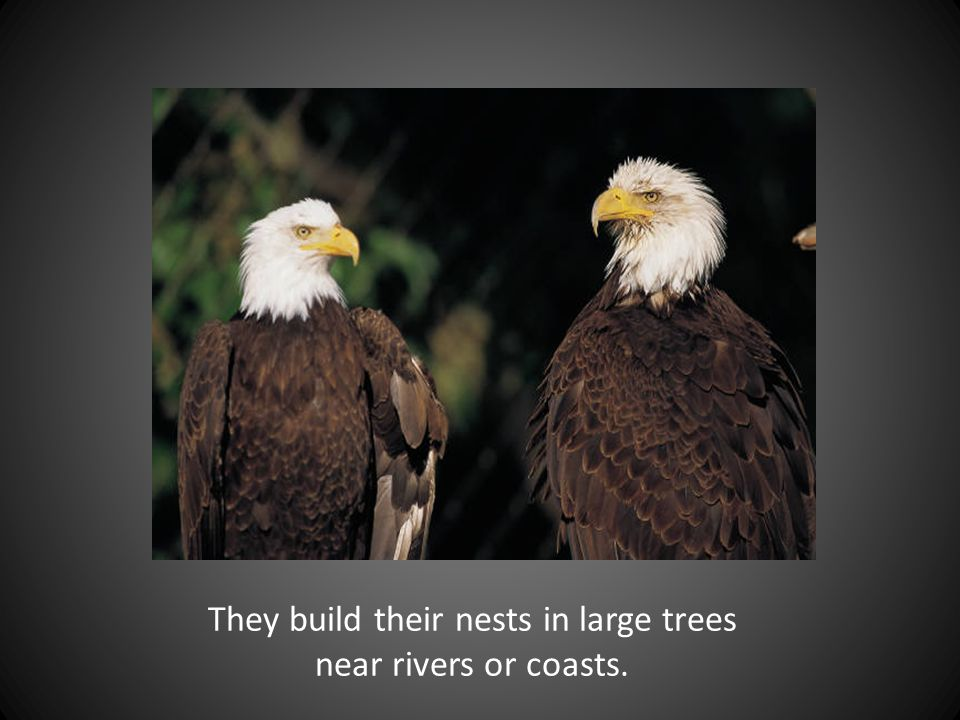 They build their nests in large trees near rivers or coasts.
