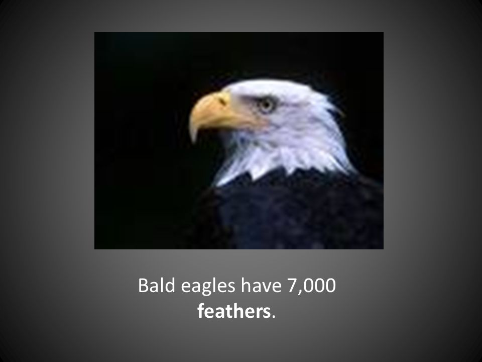 Bald eagles have 7,000 feathers.