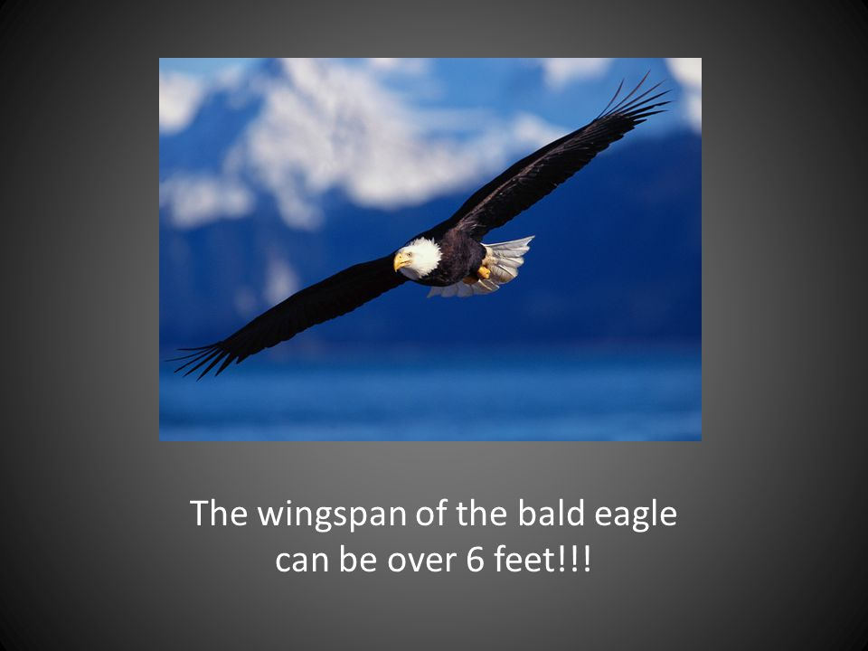 The wingspan of the bald eagle can be over 6 feet!!!