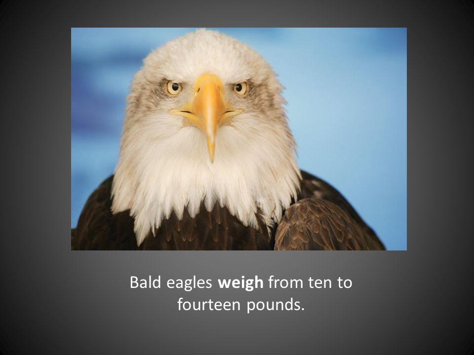 Bald eagles weigh from ten to fourteen pounds.