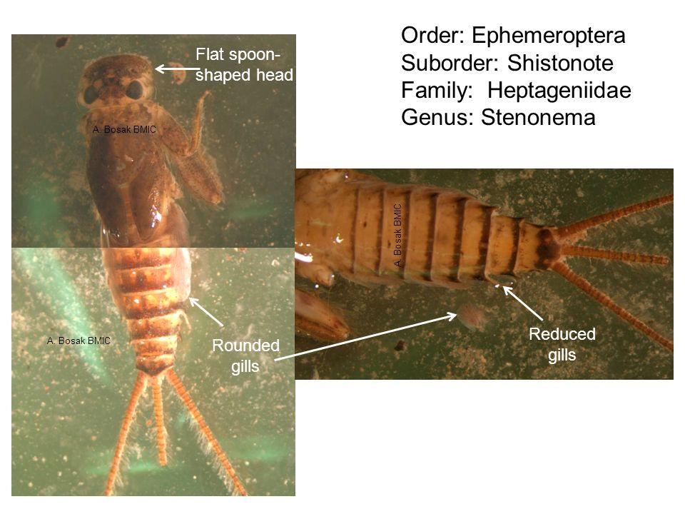 Order: Ephemeroptera Suborder: Shistonote Family: Heptageniidae Genus: Stenonema Flat spoon- shaped head Rounded gills Reduced gills A. Bosak BMIC