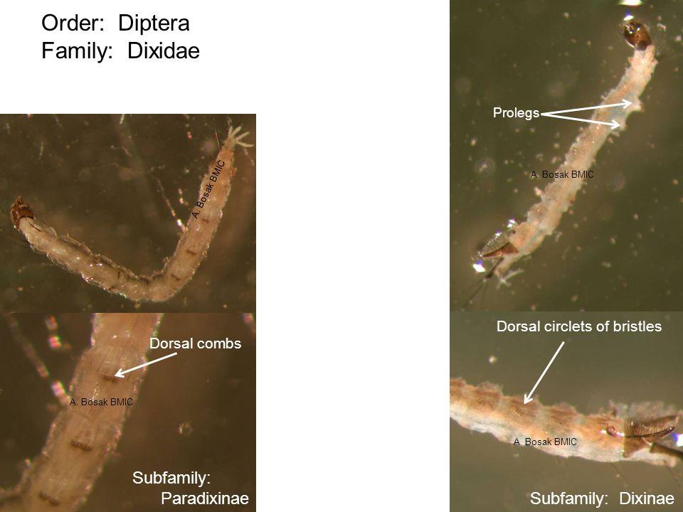 Order: Diptera Family: Dixidae Prolegs Dorsal circlets of bristles Subfamily: Dixinae Subfamily: Paradixinae Dorsal combs A. Bosak BMIC