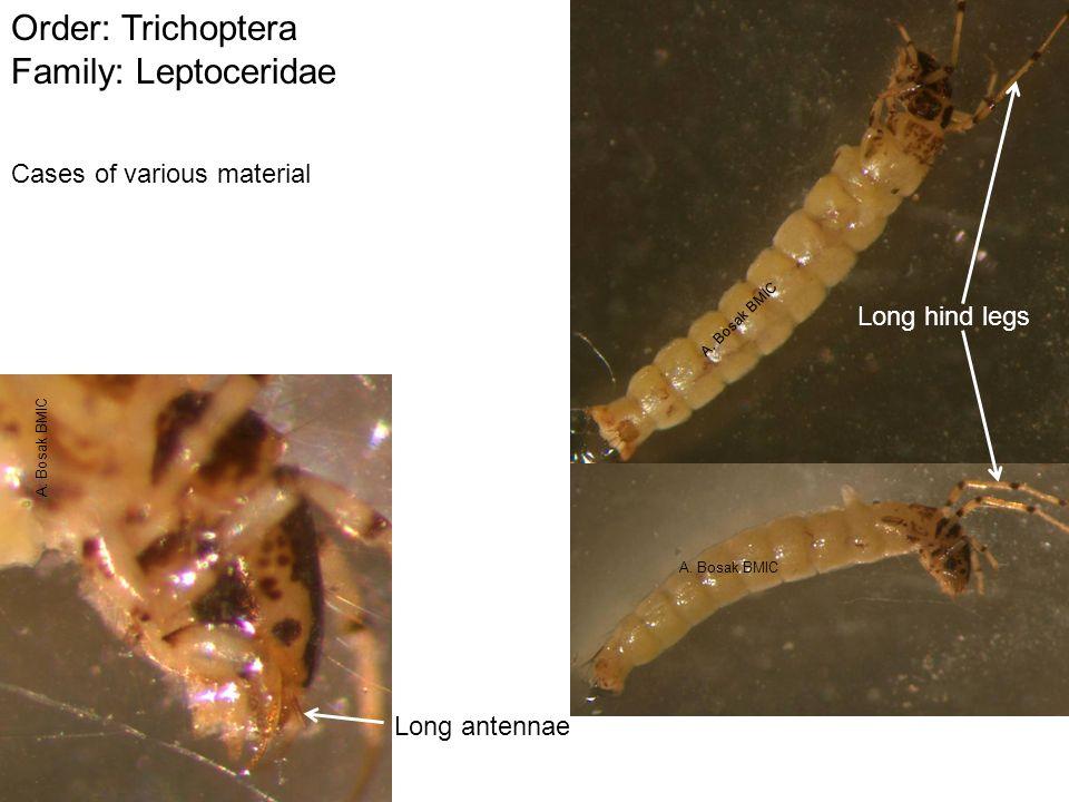 Order: Trichoptera Family: Leptoceridae Long antennae Long hind legs Cases of various material A. Bosak BMIC