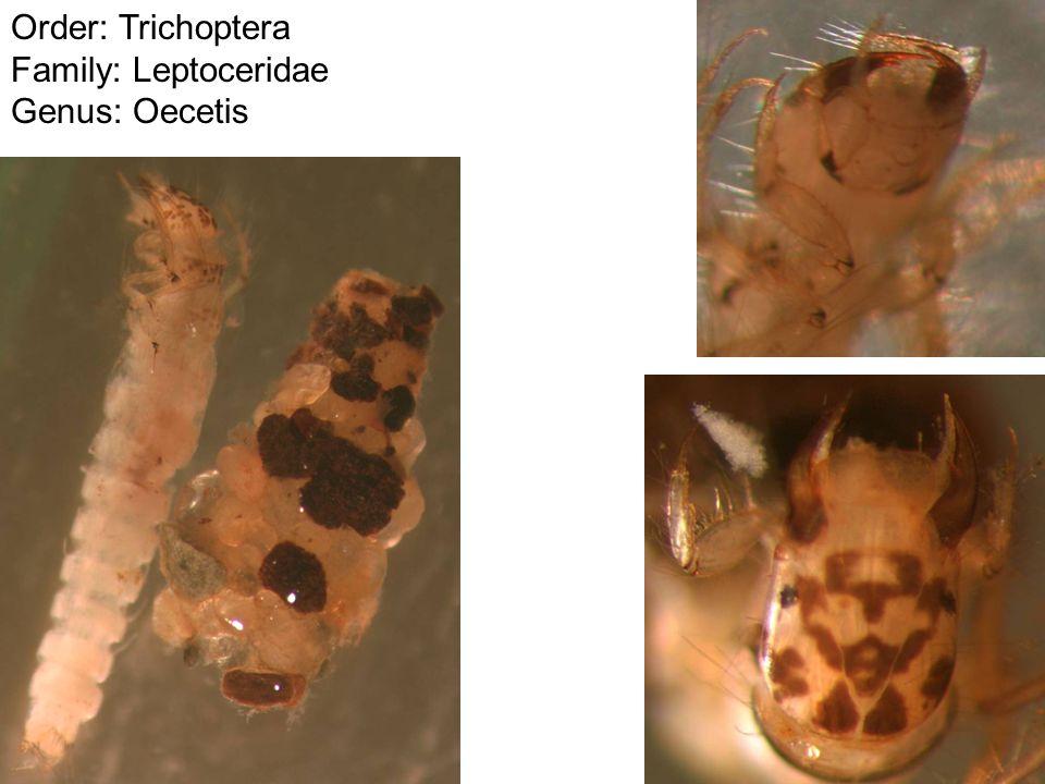 Order: Trichoptera Family: Leptoceridae Genus: Oecetis