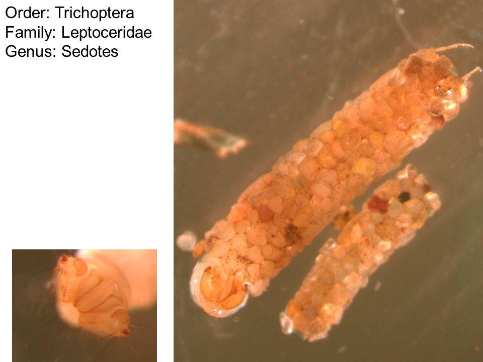 Order: Trichoptera Family: Leptoceridae Genus: Sedotes