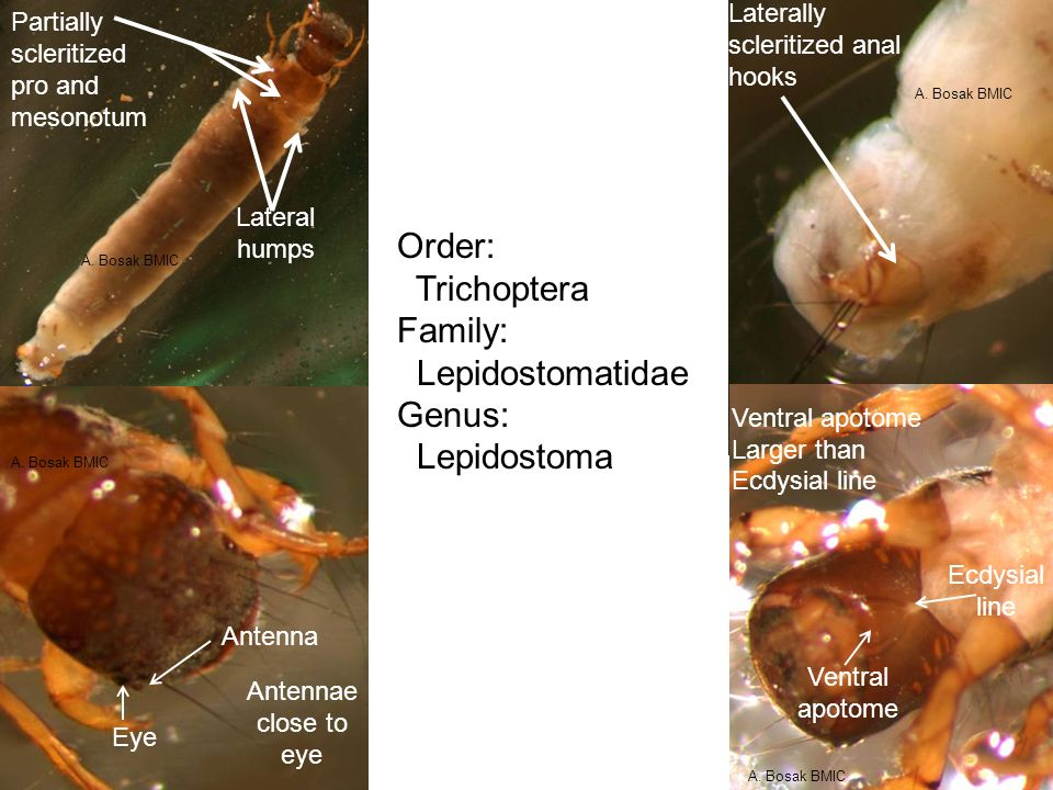 Lateral humps Partially scleritized pro and mesonotum Antennae close to eye Eye Antenna Laterally scleritized anal hooks Ventral apotome Larger than E