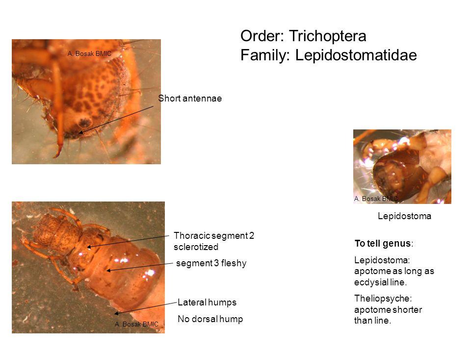 Order: Trichoptera Family: Lepidostomatidae Lateral humps No dorsal hump Short antennae Thoracic segment 2 sclerotized segment 3 fleshy To tell genus: