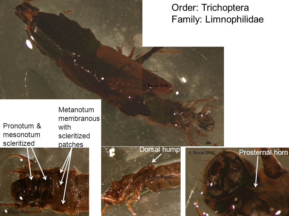Order: Trichoptera Family: Molanidae Genus: Molannodes Molannodes in case Molannodes out of case Hood on case Hind tarsal claw modified as a filament A.