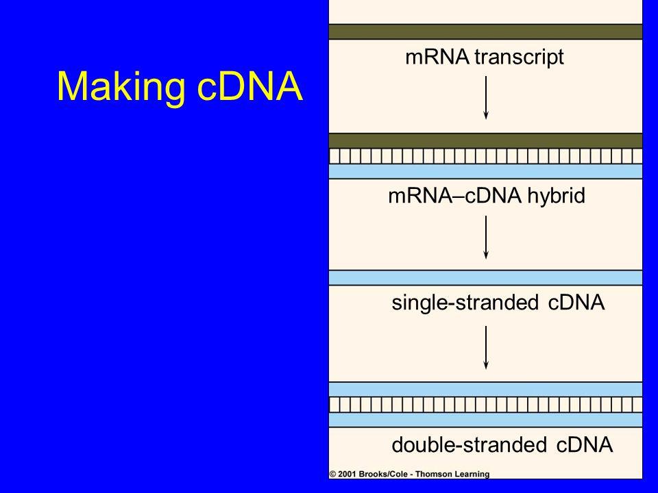 Making cDNA mRNA transcript mRNA–cDNA hybrid single-stranded cDNA double-stranded cDNA