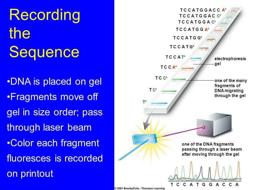 Recording the Sequence T C C A T G G A C C T C C A T G G A C T C C A T G G A T C C A T G G T C C A T G T C C A T T C C A T C C T C T electrophoresis g