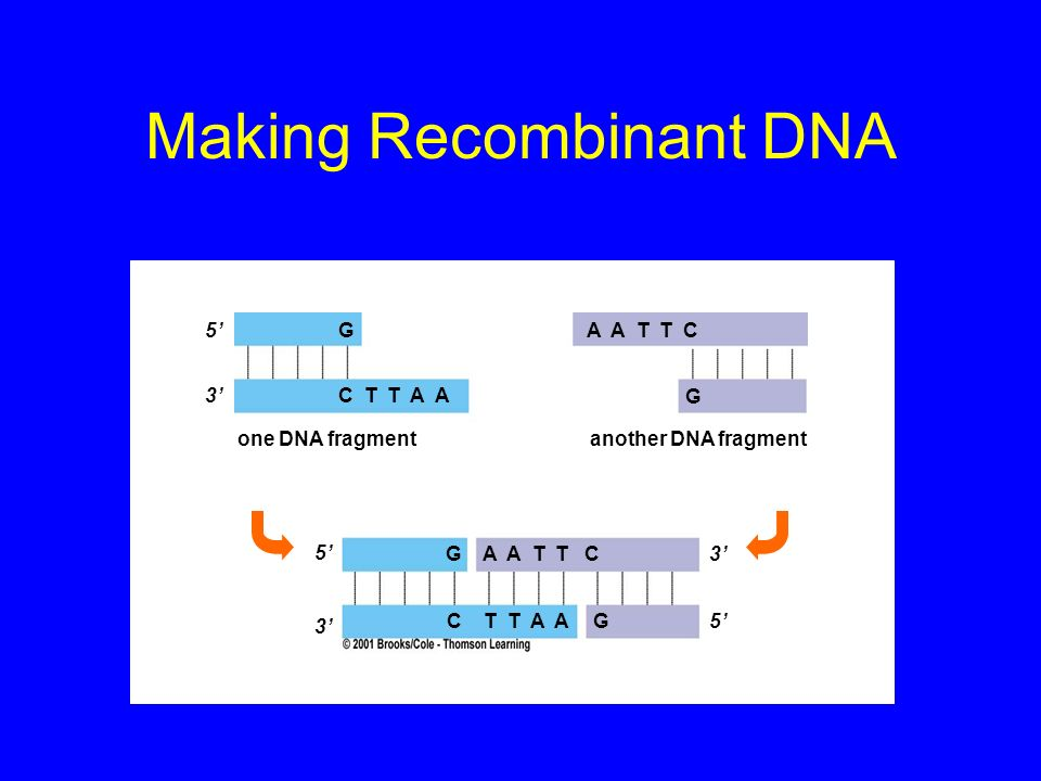 Making Recombinant DNA 5 3 G C T T A A A A T T C G G C T T A AG 3 5 one DNA fragmentanother DNA fragment 3 5