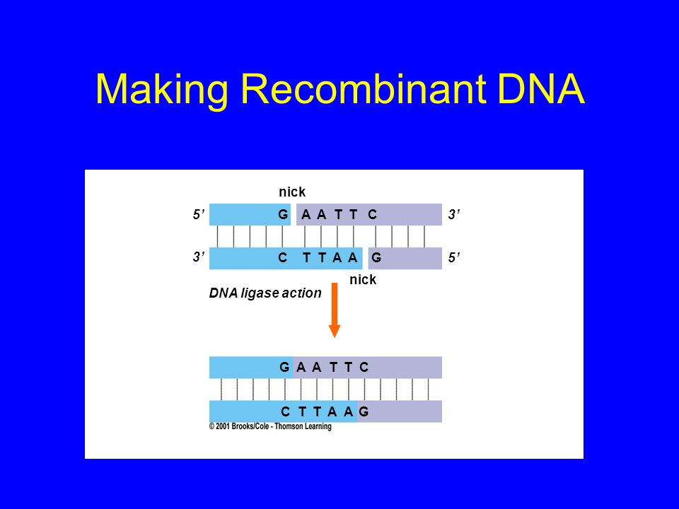 Temperature Cycles DNA is heated to unwind strands Cooled to allow base-pairing with primers and complementary strand synthesis DNA is heated again to unwind strands Cycle is repeated over and over again