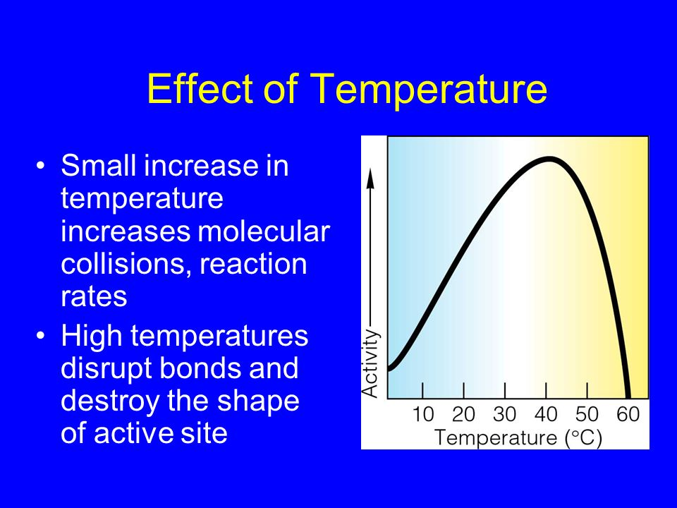 Effect of Temperature Small increase in temperature increases molecular collisions, reaction rates High temperatures disrupt bonds and destroy the sha