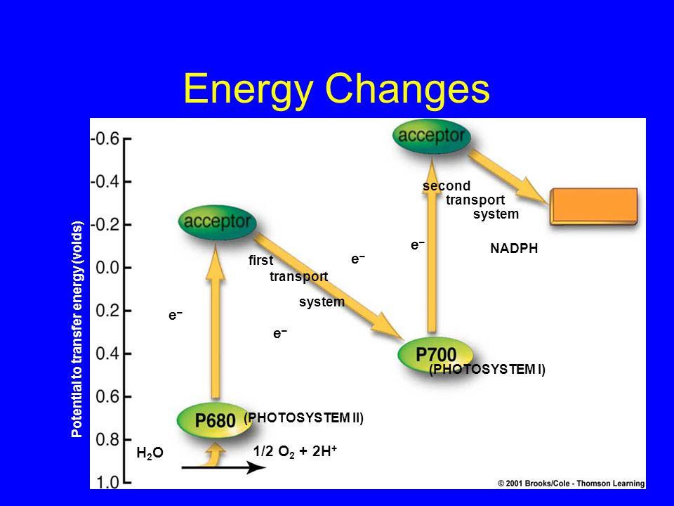 Energy Changes Potential to transfer energy (voids) H2OH2O 1/2 O 2 + 2H + (PHOTOSYSTEM II) (PHOTOSYSTEM I) e–e– e–e– e–e– e–e– second transport system
