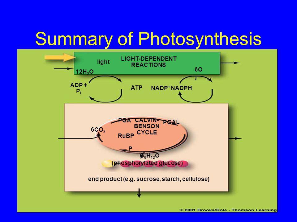Summary of Photosynthesis light 6O 2 12H 2 O CALVIN- BENSON CYCLE C 6 H 12 O 6 (phosphorylated glucose) NADPHNADP + ATP ADP + P i PGA PGAL RuBP P 6CO
