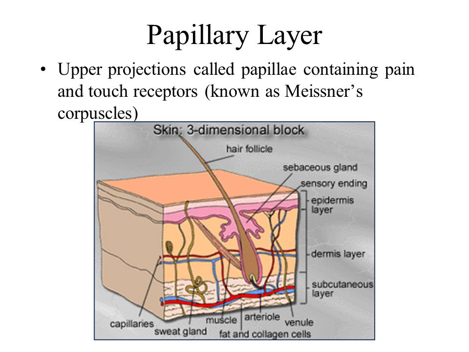 The Dermis Divided into 2 Layers- Papillary and Reticular
