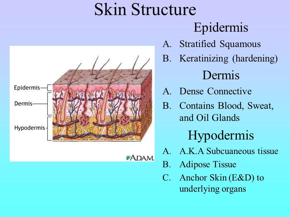 Functions of the Skin Mechanical DamagePhysical Barrier Chemical DamageAcids and Bases Bacterial Damage Unbroken Surface, Acid Mantle Ultraviolet Radi