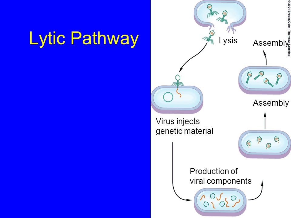 Lytic Pathway Virus injects genetic material Production of viral components Assembly Lysis Assembly