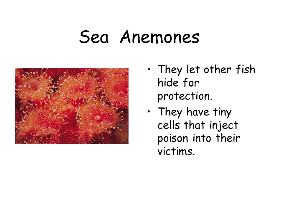 Sea Anemones They let other fish hide for protection. They have tiny cells that inject poison into their victims.