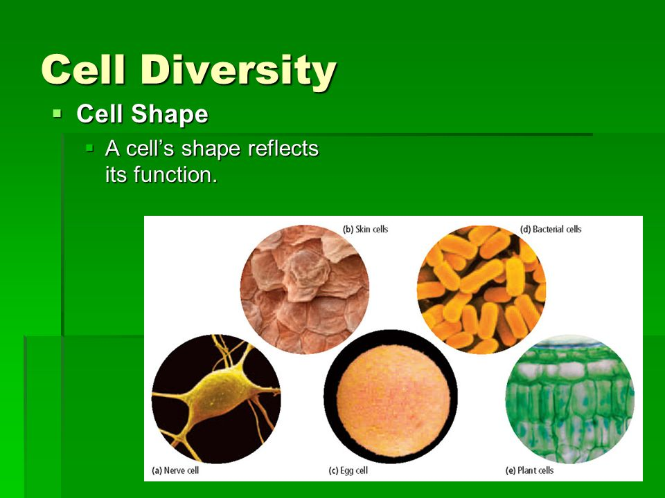 Cell Diversity Cell Shape Cell Shape A cells shape reflects its function. A cells shape reflects its function.