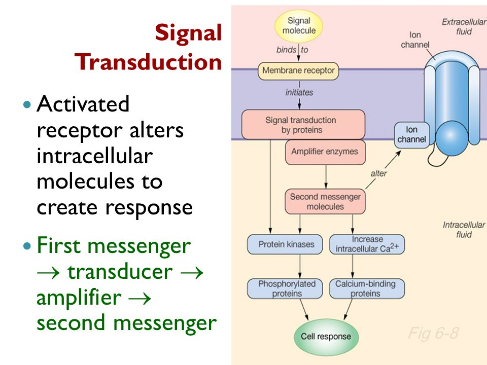 Signal Transduction Activated receptor alters intracellular molecules to create response First messenger transducer amplifier second messenger Fig 6-8