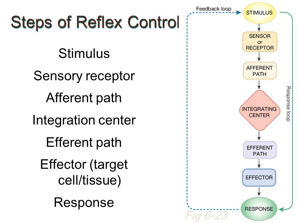 Steps of Reflex Control Stimulus Sensory receptor Afferent path Integration center Efferent path Effector (target cell/tissue) Response Fig 6-23