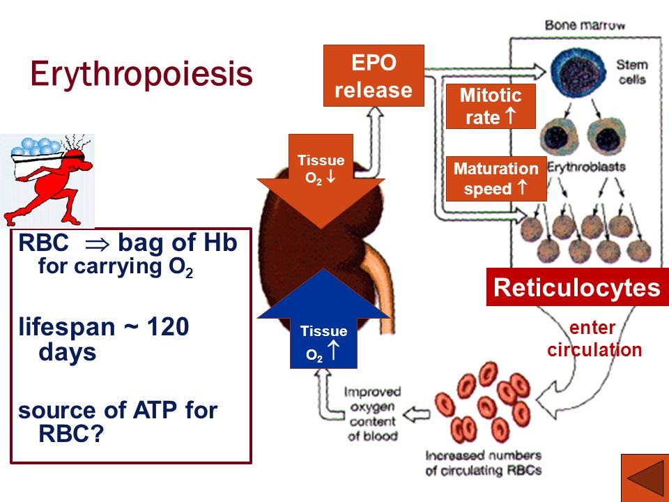 Erythropoiesis RBC bag of Hb for carrying O 2 lifespan ~ 120 days source of ATP for RBC? enter circulation Reticulocytes Tissue O 2 EPO release Mitoti