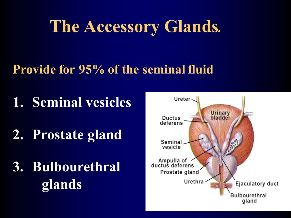 The Accessory Glands.