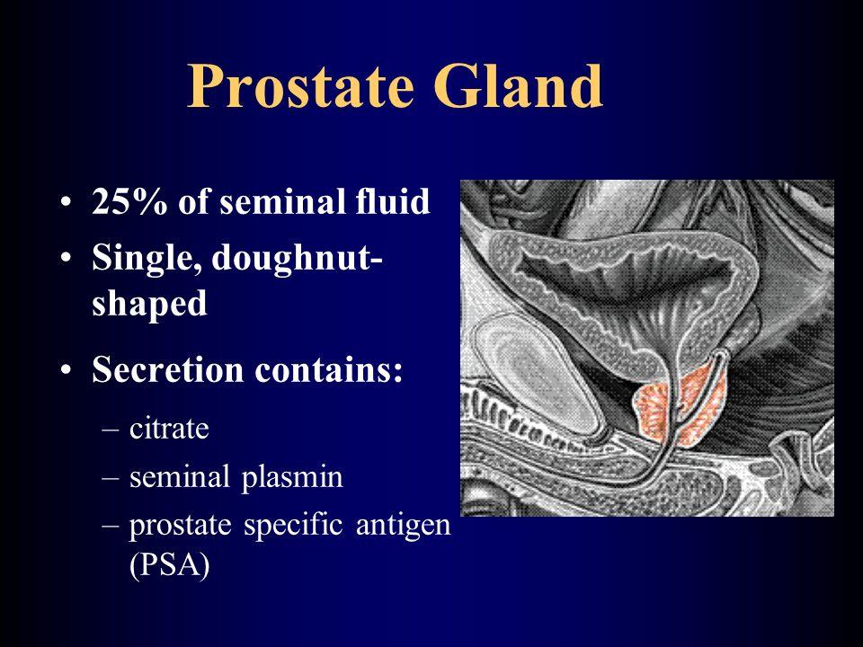 Prostate Gland 25% of seminal fluid Single, doughnut- shaped Secretion contains: –citrate –seminal plasmin –prostate specific antigen (PSA)