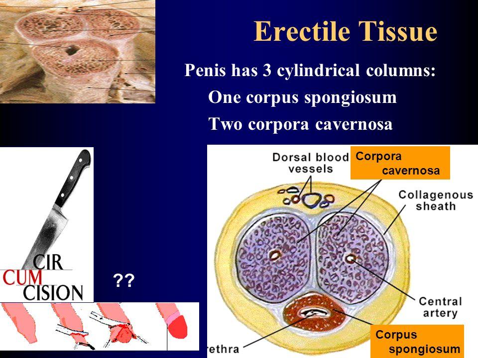 Erectile Tissue Penis has 3 cylindrical columns: One corpus spongiosum Two corpora cavernosa Corpora cavernosa Corpus spongiosum ??
